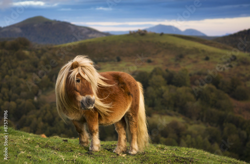 Melena al viento. Pony shetland, Navarra.