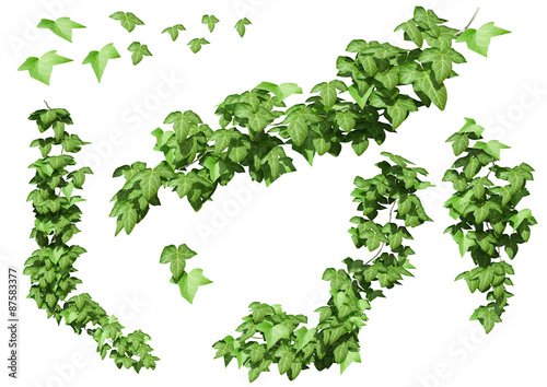 ivy leaves isolated on a white background. Fototapeta