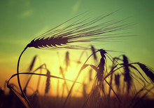 Silhouette Of A Barley Field I...