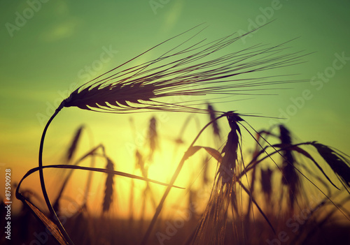 silhouette of a barley field in sunset Wallpaper Mural