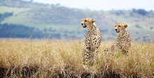 Two Cheetah's Looking To The L...