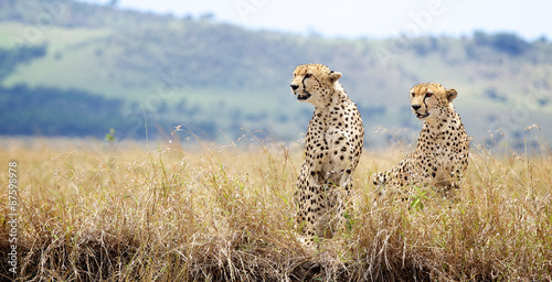 Two Cheetah's looking to the left