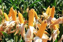 Cornfield. A Corn Field During...