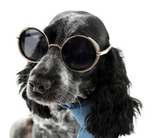 Cute Dog With Sunglasses Isola...