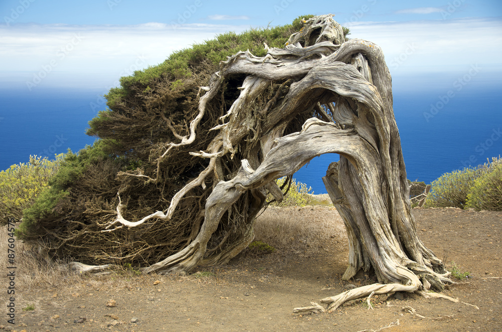 Sabina, a Canary Island tree