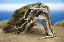 Sabina, A Canary Island Tree
