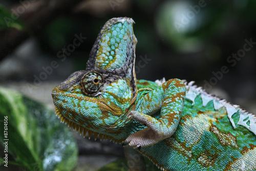 Staande foto Kameleon Veiled chameleon (Chamaeleo calyptratus).