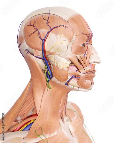 medycznie-dokladna-ilustracja-anatomii-glowy