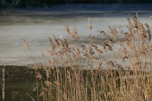 Reed in the morning on winter lake - 87632195