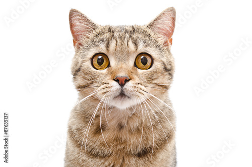 Foto op Aluminium Kat Portrait of a cat Scottish Straight closeup isolated on white background