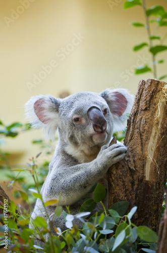Staande foto Koala koala bear in forest