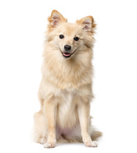 German Spitz Sitting In Front Of A White Background