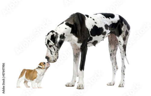 Fototapeta Great Dane looking at a French Bulldog puppy obraz
