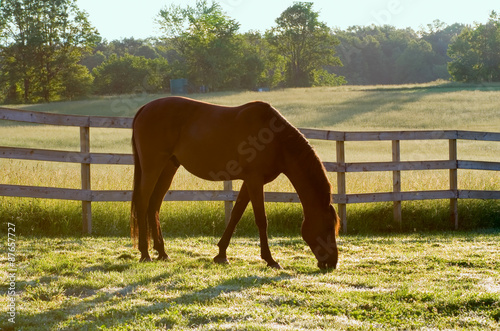 Horse Grazing in Pasture in the Morning – An Arabian horse grazes in his pasture in the morning sunlight Poster