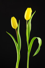 Two Yellow Tulips On Black