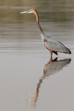 Goliath Heron Walking In Water Searching Fish To Catch