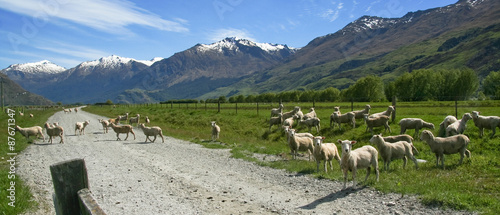 Poster Nouvelle Zélande Sheeps in New Zealnd