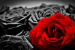 Romantic greeting card of red rose against black and white roses