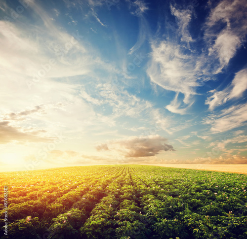Fotografía Potato crop field at sunset. Agriculture, cultivated area, farm