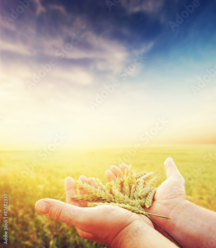 Fresh green cereal, grain in farmer's hands. Agriculture, harvest Wallpaper Mural