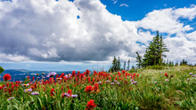 Indian Paint Brush And Aster Flowers In The High Alpine Of Tod Mountain In The Sushwap Highlands And Part Of The Sun Peaks Ski Resort In Central British Columbia