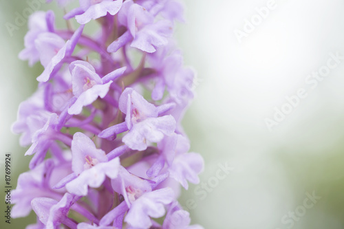 Natural fragrant orchid, Gymnadenia conopsea. Light flower on solid lihght green background