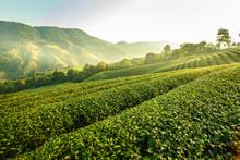 Sunrise View Of Tea Plantation...