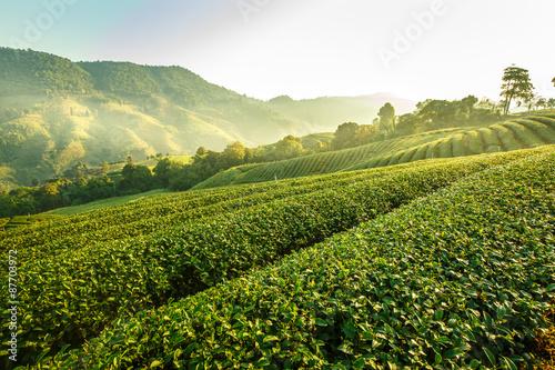 Stampa su Tela Sunrise view of tea plantation landscape at 101 Chiang Rai Tea,N