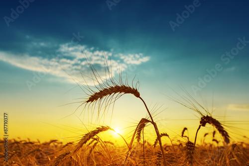 Fototapeta golden harvest under blue cloudy sky on sunset obraz