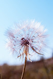 Closeup of dandelion - natural background - 87711198