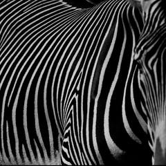 Panel Szklany Podświetlane Zebry :: zebra III ::