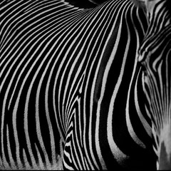 Fototapeta Zebry :: zebra III ::