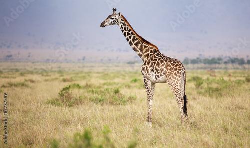 Poster Giraffe Large adult giraffe