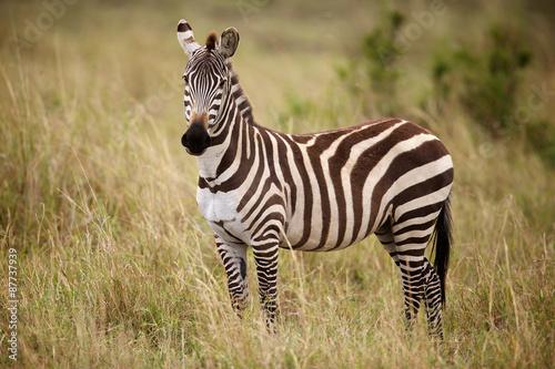 Tuinposter Zebra Zebra standing in long grass