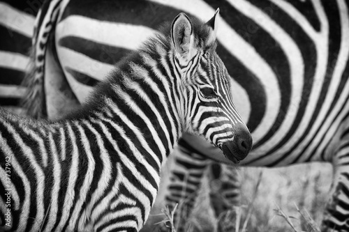 Tuinposter Zebra Very young zebra in mono