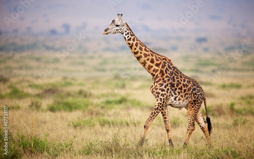 Deurstickers Giraffe Giraffe walking in Kenya