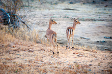Two Impala In Open Ground