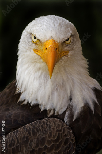 Spoed Foto op Canvas Eagle Portrait of a Haliaeetus leucocephalus, Bald Eagle