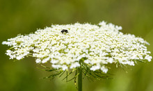 Queen Anne's Lace With A Small Bee.