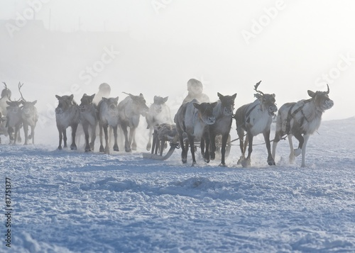 Polar inhabitants on the deer sleds early in morining