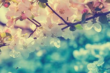 Obraz na SzkleVintage blossom apple tree at sunrise. Spring natural background