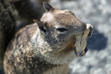Chipmunk Squirrel Eating A Peanut