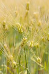 Fototapeta Prowansalski 小麦畑