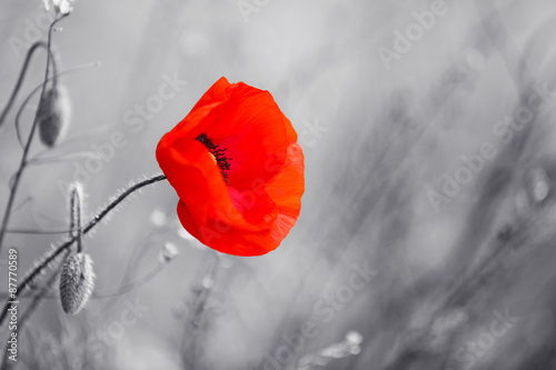 Poster Poppy Red poppy flower for Remembrance Day / Sunday