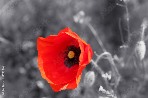 Deurstickers Klaprozen Red poppy flower for Remembrance Day / Sunday