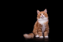 Siberian Cat On Black Backgrou...