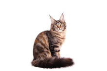 Maine Coon Cat Sitting In Front Of White Background