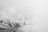 Beautiful dandelion with seeds, macro view - 87776317