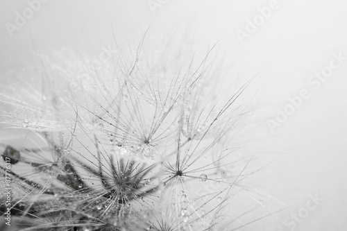 Stickers pour porte Pissenlit Beautiful dandelion with seeds, macro view
