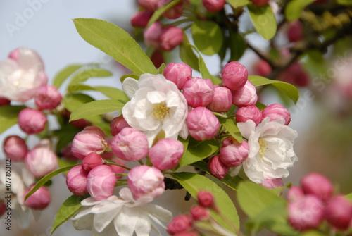 Fototapeten Natur kersenboom in bloei